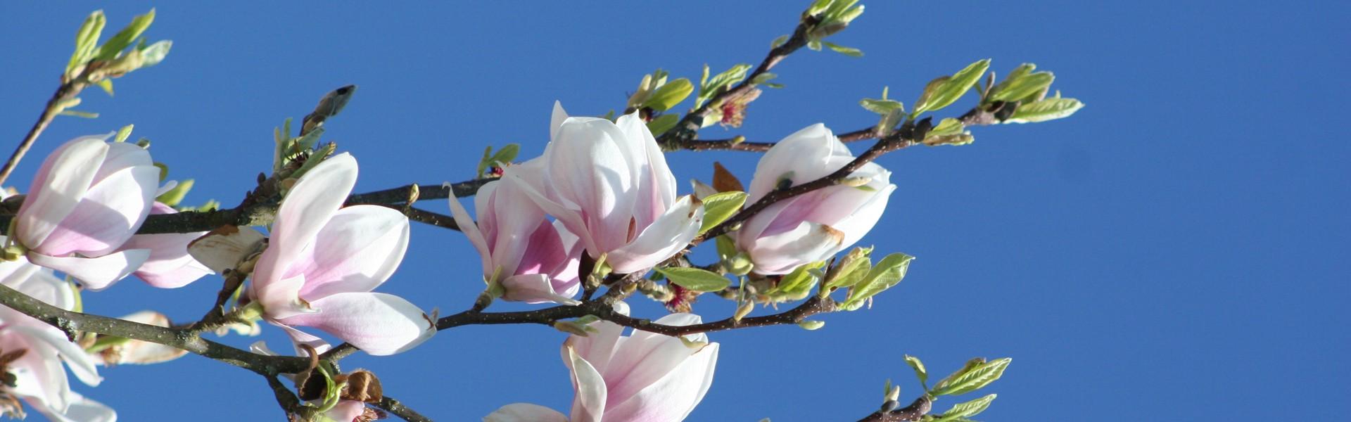 Blütenbaum vor Reception, Frühlingserwachen im Golf- und Landhotel Anetseder