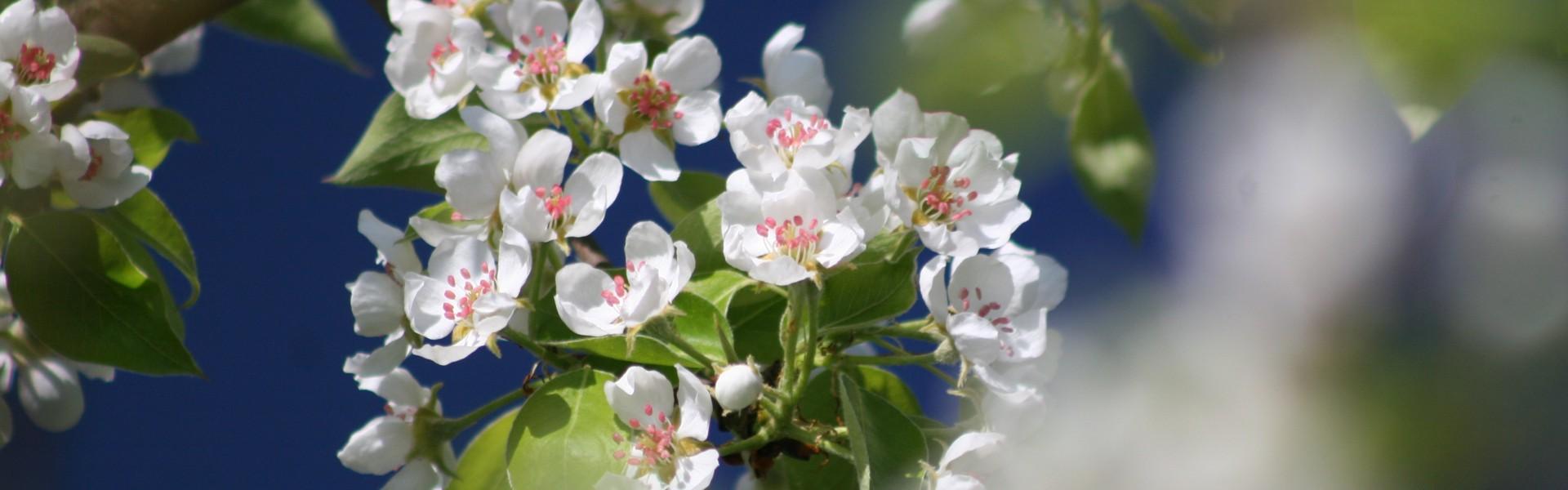 Apfelbaumblüte im Golf- und Landhotel Anetseder in Raßbach
