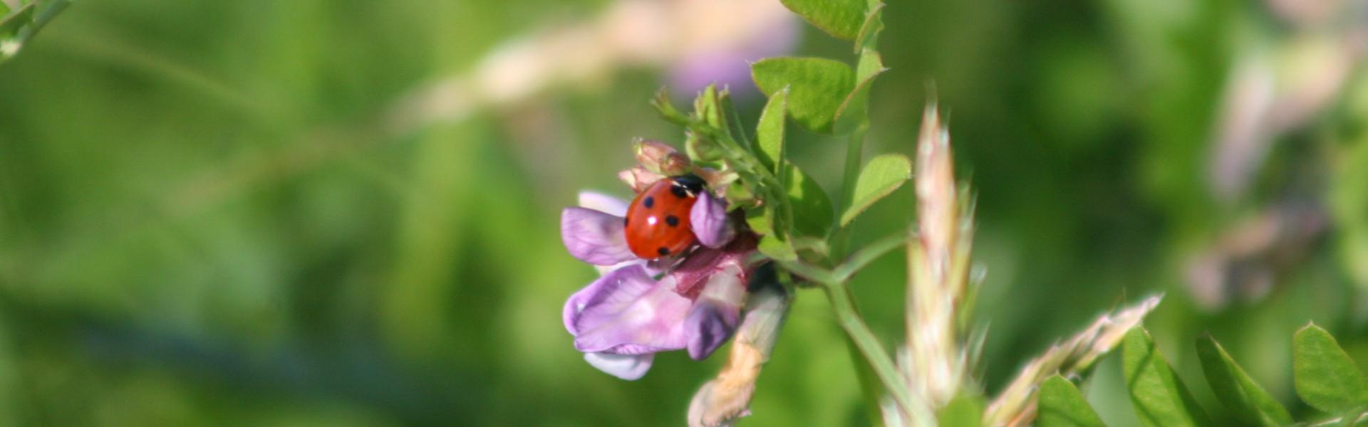 Marienkäfer an Blüte
