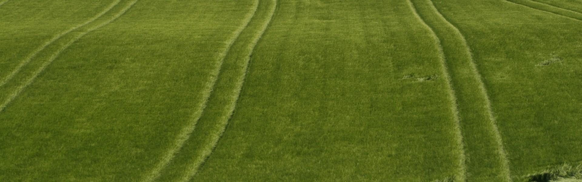 Getreidefeld grün nahe dem Golf- und Landhotel Anetseder